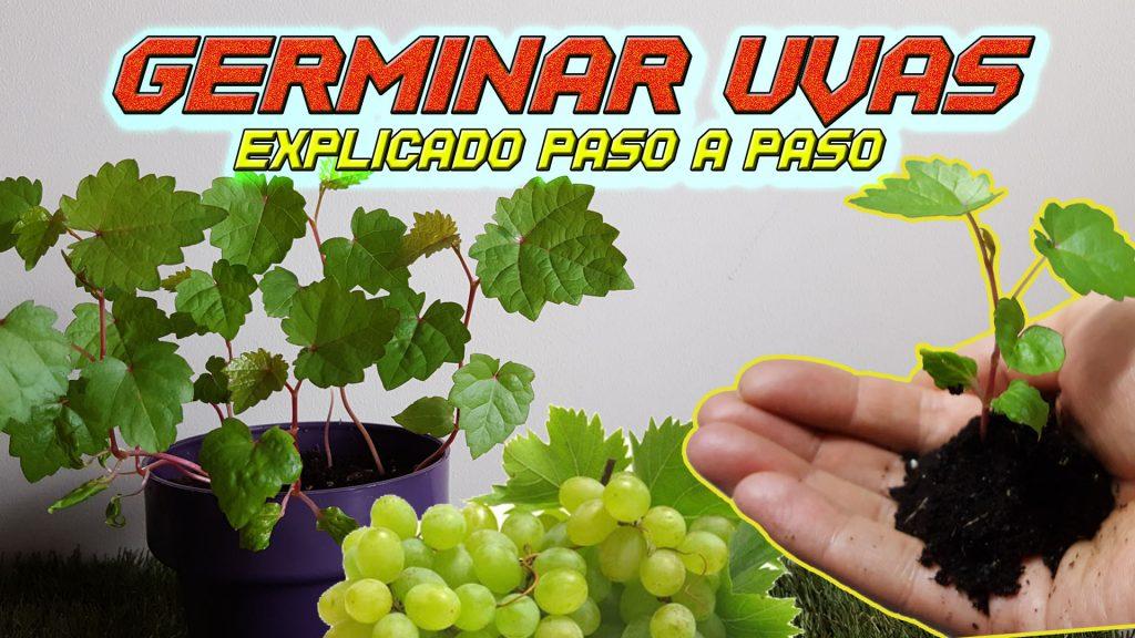 Como germinar semillas de uva